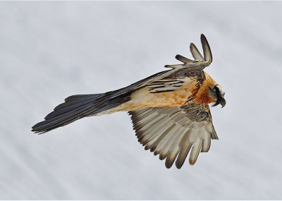 Bearded vulture c Weyrich